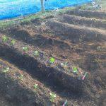 春野菜を植えました