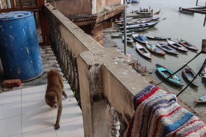 インドの猿