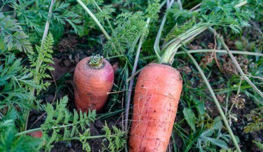 簡単で栄養満点。やみつきになる「ニンジン葉チヂミ」のレシピをご紹介。